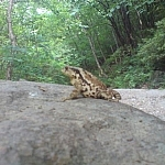 A frog sitting on the rocky trail at Sobaeksan National Park.