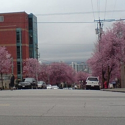 Cherry trees in full bloom line both sides of a Vancouver street.
