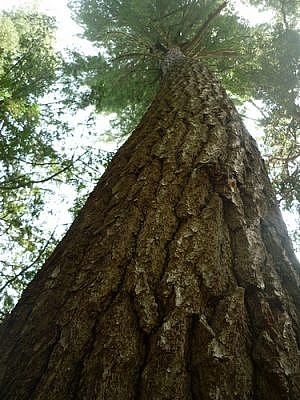 A tall pine tree reaching for the sky along the White Bear Forest Trails.