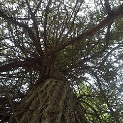 Old growth tree along Papase Trail, French River.