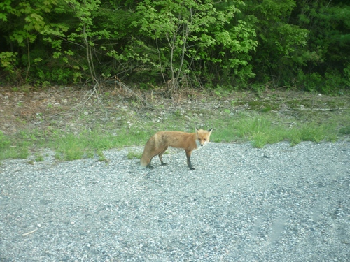 A red fox on the roadside heading out of Killarney.