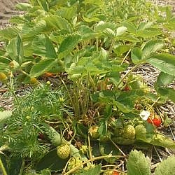 Row of strawberries at Ruby Berry Farm.