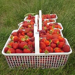 Baskets of strawberries picked at Ruby Berry Farm.