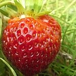 Ruby Berry Farm strawberry close-up.
