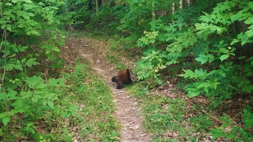 Porucpine crossing the trail at Frontenac Park.