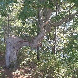 Unique shaped tree seen along the trail at Frontenac Park.