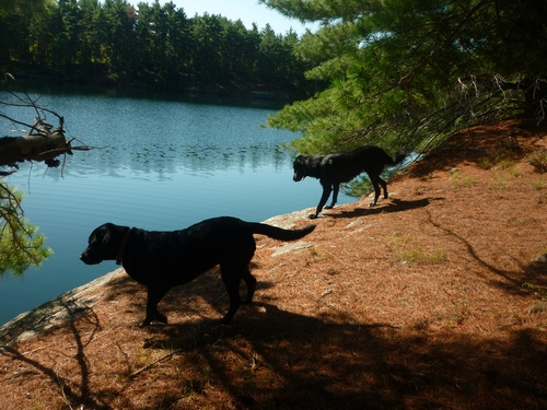 Our dogs looking for a way into the lake.